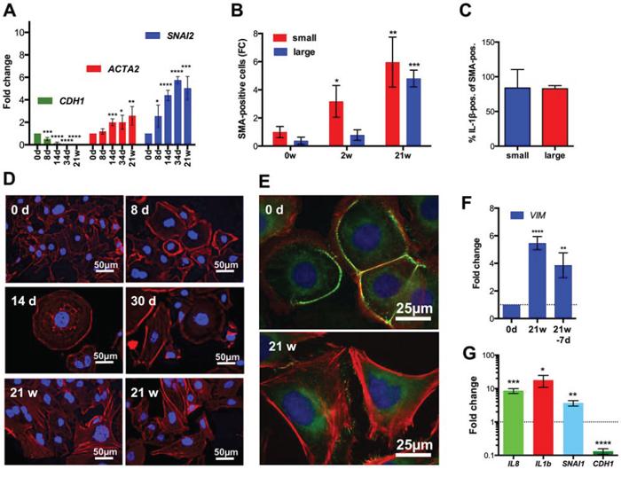 Induction of EMT after CPT treatment of SKOV3 cells.