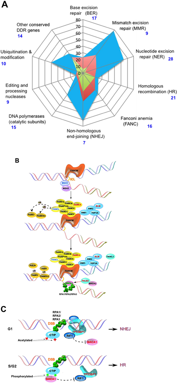 DNA damage response genes in prostate cancer patients.