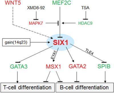 Gene regulatory network (GRN) of SIX1 in HL.