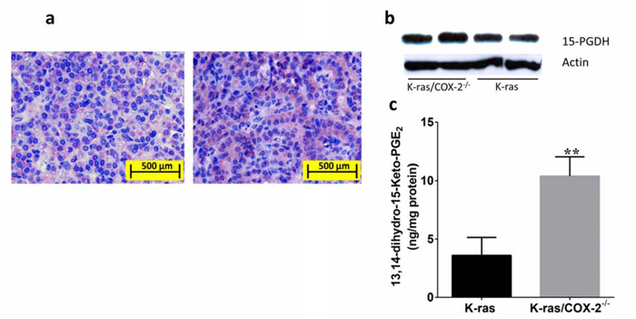 Knockdown of COX-2 increased the expression of 15-PGDH and formation of the PGE2 metabolite 13,14-dihydro-15-keto-PGE2 in lung tissue.