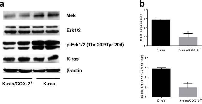 COX-2 deletion led to downregulation of the MAPK pathway and significantly reduced total MEK and p-Erk1/2.