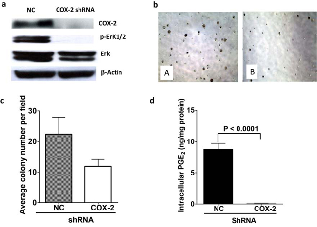 COX-2 knock down reduced colony formation of A549 cells by reduction of PGE2 and down regulation of ERK phosphorylation.