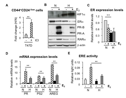 Hypoxia reduces ER expression and transcriptional activity.