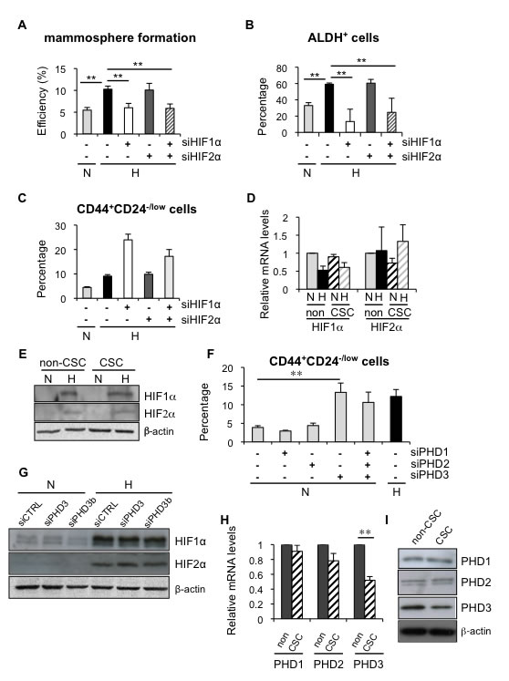 Hypoxia induced dedifferentiation employs both HIF-dependent and independent mechanisms.