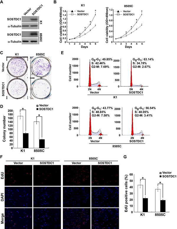 Ectopic over-expression of SOSTDC1 inhibits the proliferation of thyroid cancer cells.