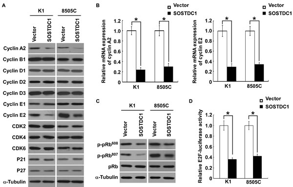 Ectopic over-expression of SOSTDC1 inhibits the expression of cyclinA2 and cyclin E2, and suppresses E2F transcriptional activity.