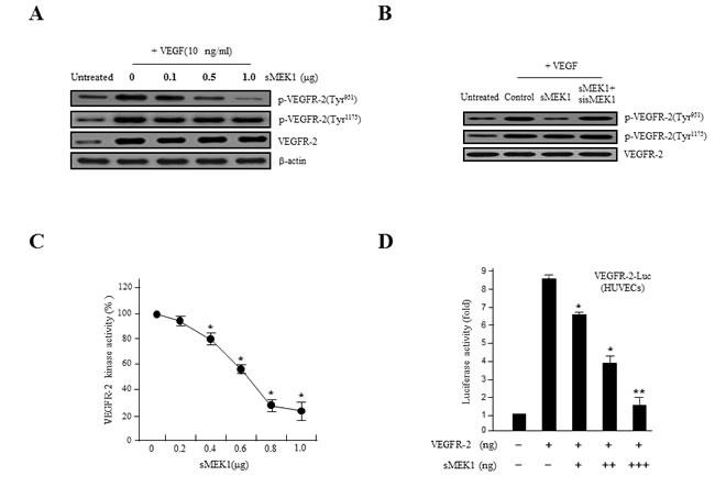 sMEK1 decreases VEGF-stimulated VEGFR-2 phosphorylation (Tyr-951).