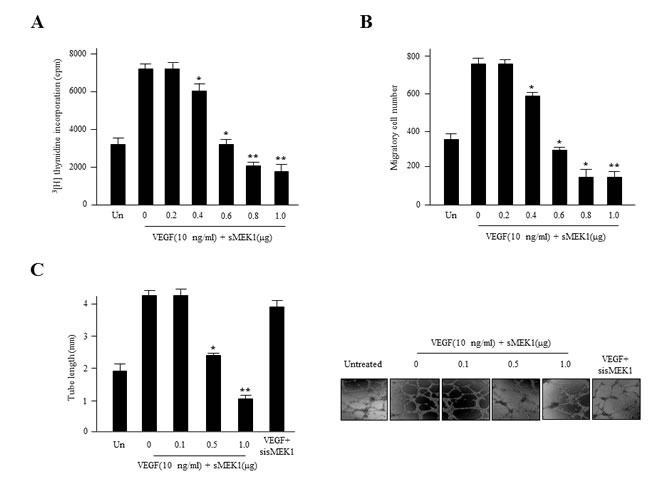 sMEK1 inhibits angiogenesis by abrogating endothelial cell proliferation, migration, and tube formation.