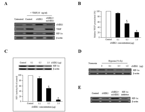 sMEK1 decreases VEGF and HIF-1α expression in ovarian carcinoma cells.