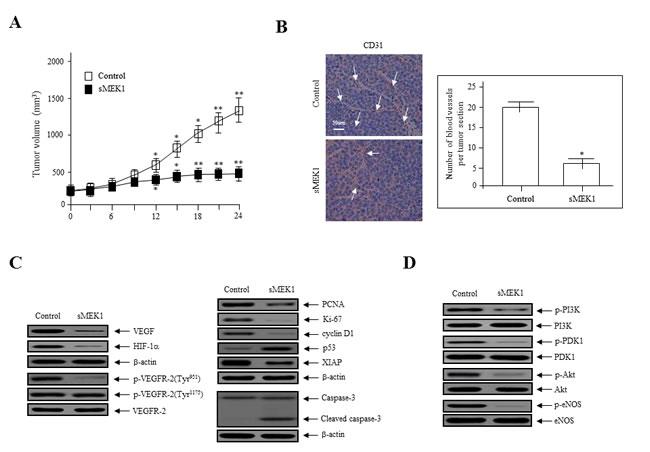 sMEK1 suppressed tumor growth by inhibiting angiogenesis