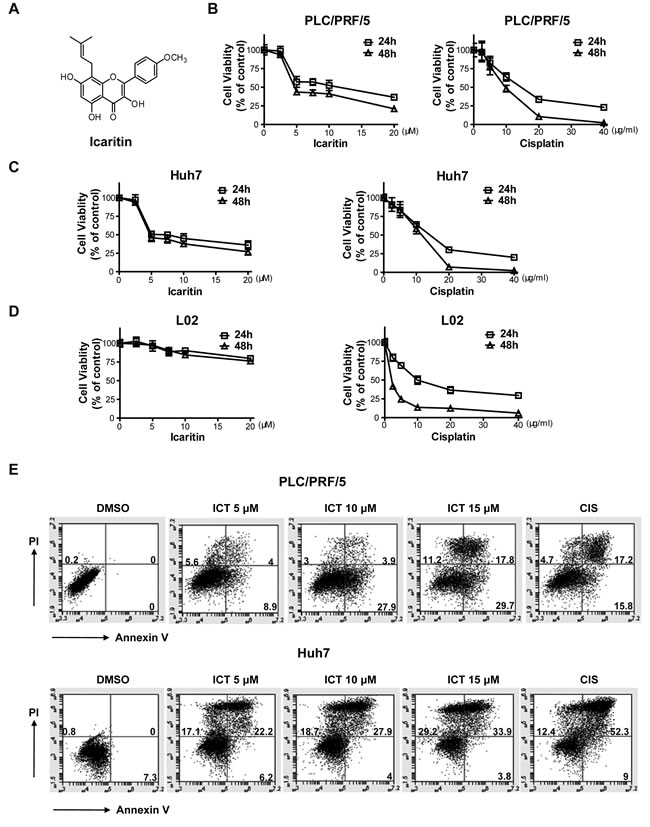 Icaritin treatment inhibits growth and induces apoptosis in HCC cells.