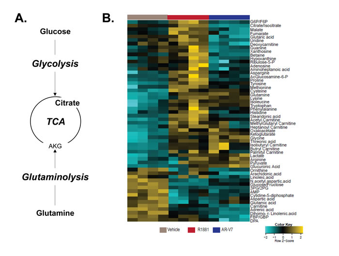 Full-length AR and AR-V7 have unique metabolic profiles in LNCaP cells.