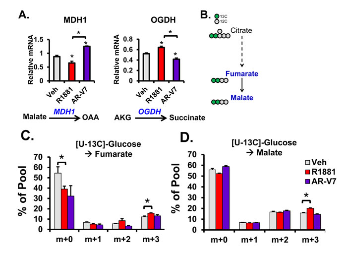 Comparison of AR and AR-V7 Induced flux through the TCA cycle in LNCaP cells.