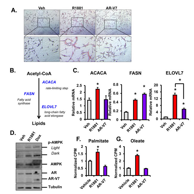 AR induces lipid accumulation and beta-oxidation and regulates the fatty acid synthesis pathway.