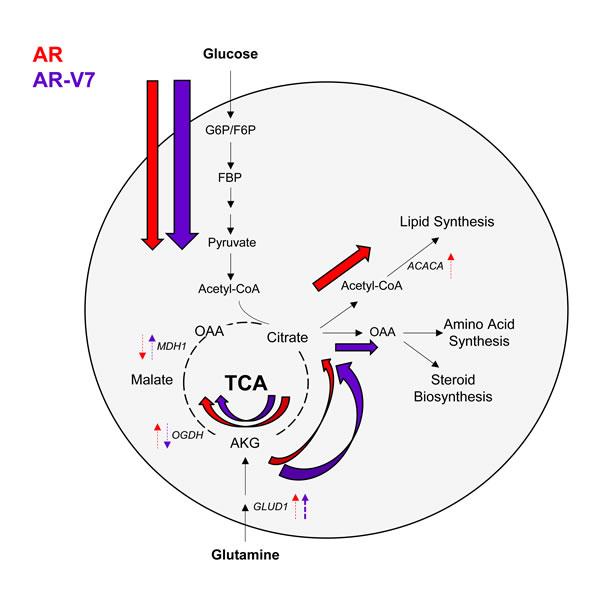 AR utilizes the TCA cycle, while AR-V7 preferentially enhances glutaminolysis.