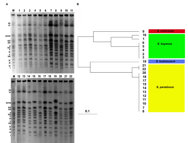 Electrophoretic karyotyping of twenty two distillery yeast strains (A, lanes from 1 to 22).