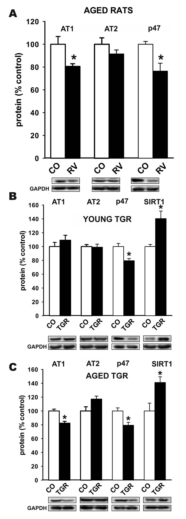 Western blot analysis of changes in the expression of angiotensin receptors (AT1 and AT2) and NADPH-oxidase activation