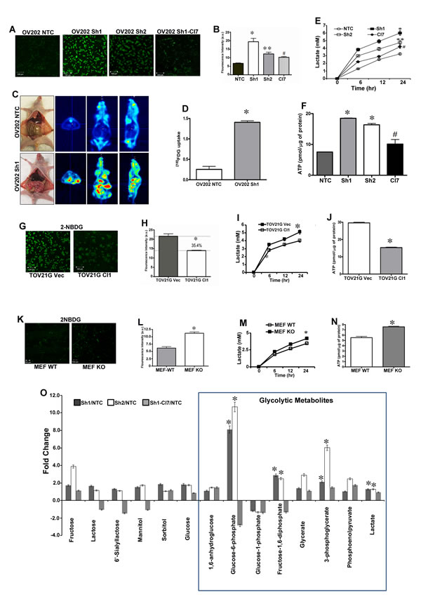 HSulf-1 loss induces enhanced glycolytic phenotype in ovarian cancer.