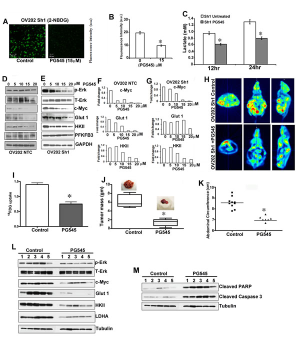 PG545 diminished HSulf-1-deficiency induced glycolysis and tumor growth.