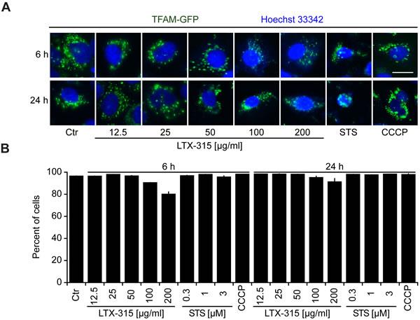 Retention of TFAM in mitochondria.