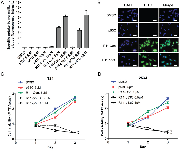 Uptake of R11-p53C and its effects on growth inhibition.