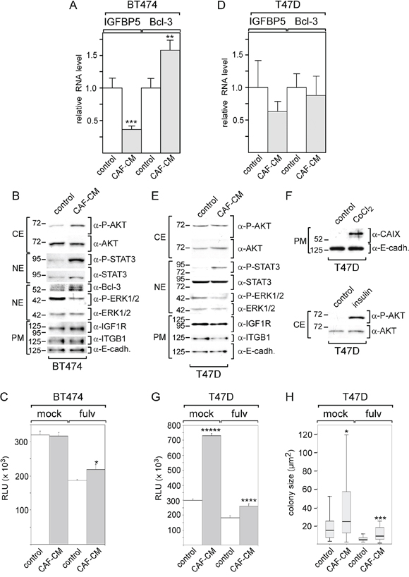 BT474, but not T47D cells respond to CAF-CM by changing IGFBP5 and Bcl-3 levels and by increasing growth activity in the presence of fulvestrant.