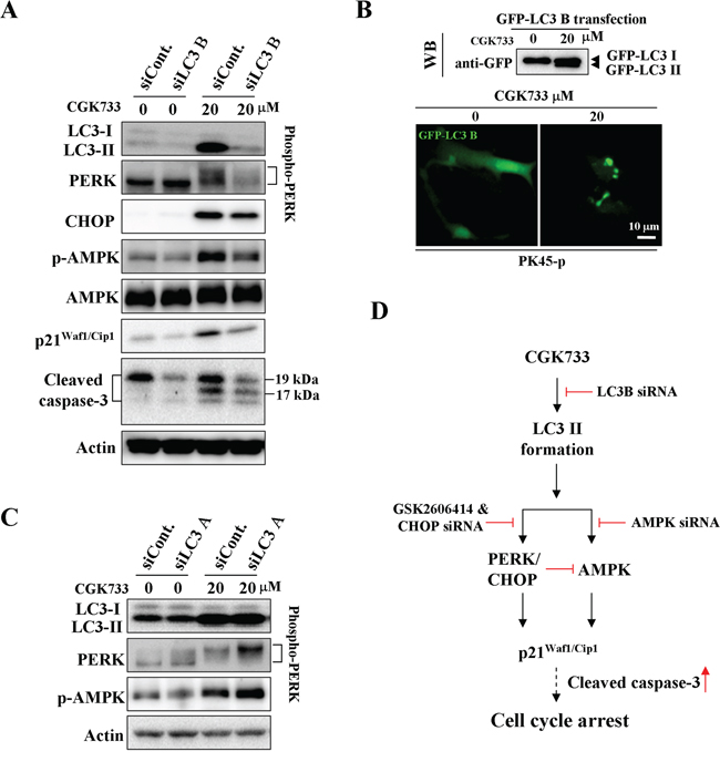 CGK733 induced LC3 II formation and the activation of AMPK and PERK/CHOP through LC3 B.