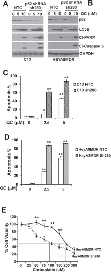 Immunoblot analysis of Non-targeted control shRNA (NTC) or p62 shRNA stable clones sh280 in A. C13 and B.