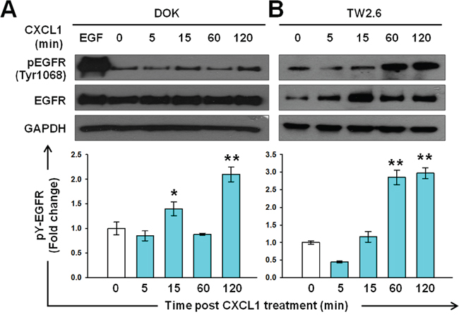 Induction of EGFR tyrosine phosphorylation by CXCL1 in DOK and TW2.6 cells.