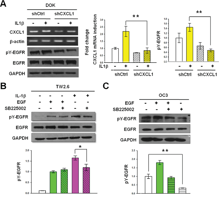 CXCL1 and CXCR2 are required for IL-1β-mediated EGFR tyrosine phosphorylation.