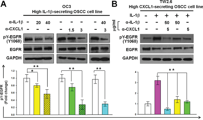 Reduction of CXCL1 or IL-1β activities reduces the phosphorylation of EGFR in OSCC cells.