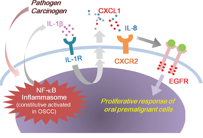 Model outlining the role of IL-1β in the regulation of EGFR signaling and oral malignant transformation.