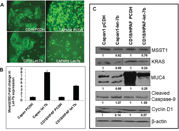 Overexpression of Let-7b in human PC cell lines.