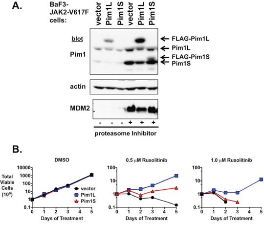 Exogenous expression of PIM1 induces ruxolitinib resistance.