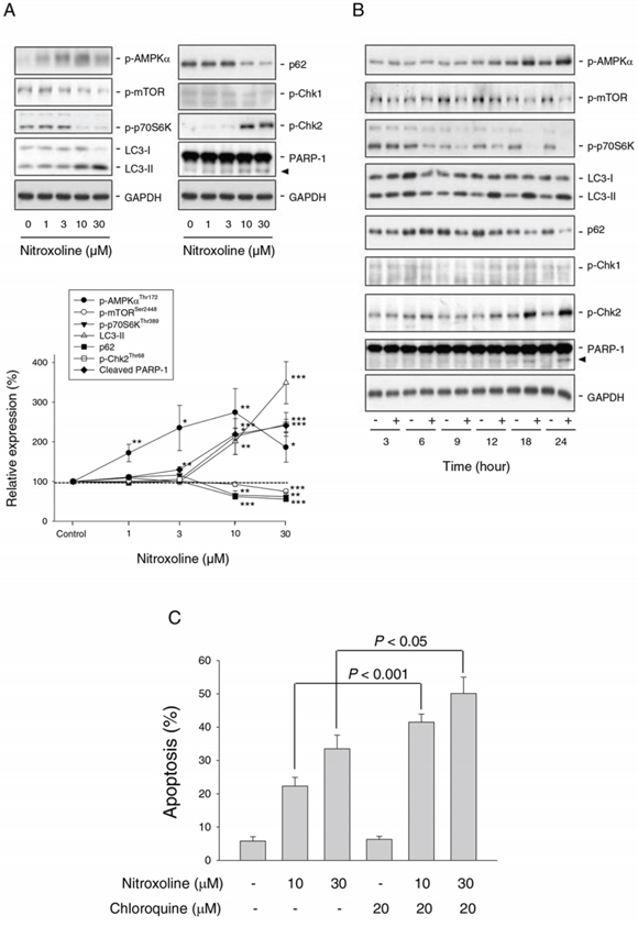 Effect of nitroxoline on the expression of several proteins and examination of autophagy-mediated cytoprotective effect.