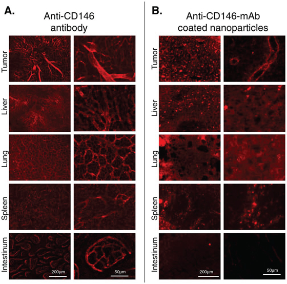 The binding of anti-CD146 mAb (A) and anti-CD146 coated nanoparticles (B) in vivo was studied using fluorescence microscopy.
