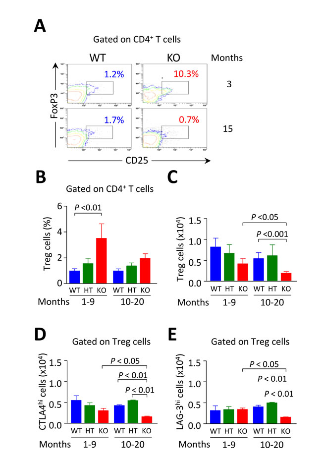 Intrahepatic Tregs are diminished in aged but not in young