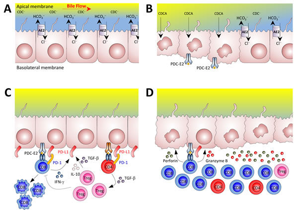 Potential mechanisms for the loss of tolerance against biliary epithelial cells in our mouse model of autoimmune cholangitis.