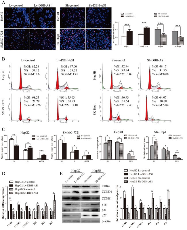 LncRNA DBH-AS1 induces cell-cycle progression in HCC cells.