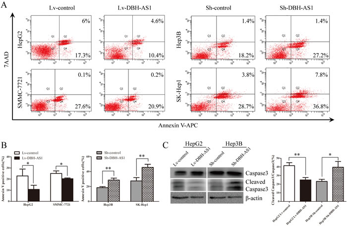 LncRNA DBH-AS1 inhibits serum starvation-induced apoptosis of HCC cells.