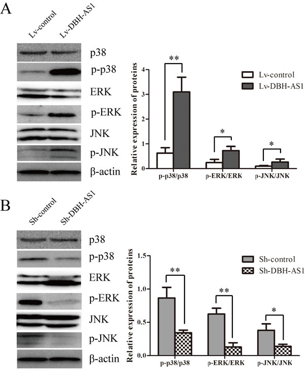 LncRNA DBH-AS1 activates MAPK signaling pathways.