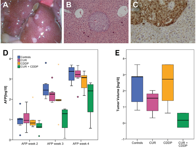 Tumor uptake in the orthotopic HCC model and AFP decrease after oral micellar curcumin feeding.