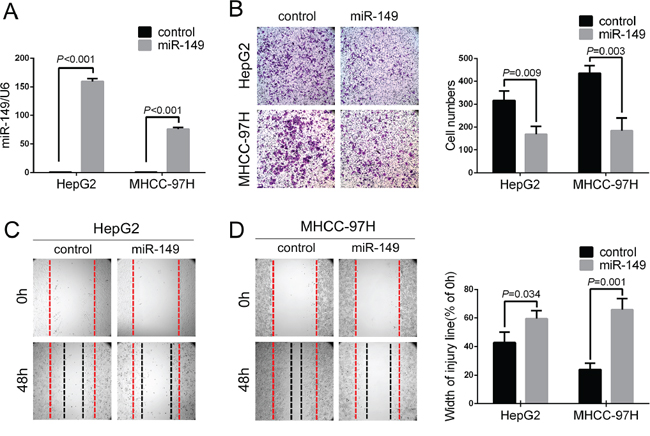 Exogenetic over-expression of miR-149 suppresses HCC cell migration and invasion in vitro.