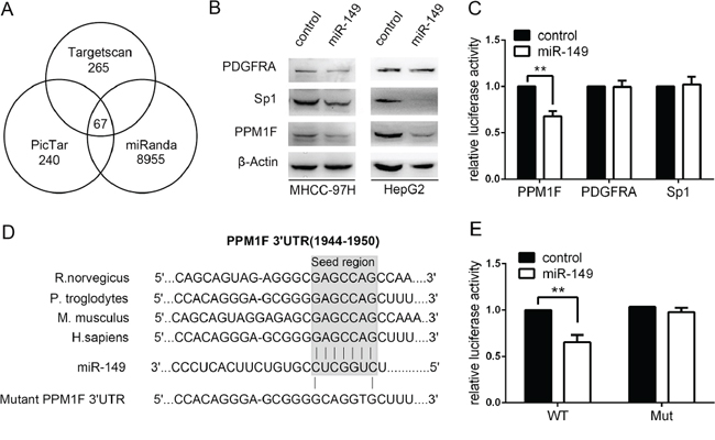 miR-149 down-regulates PPM1F expression by directly targeting its 3′-UTR.
