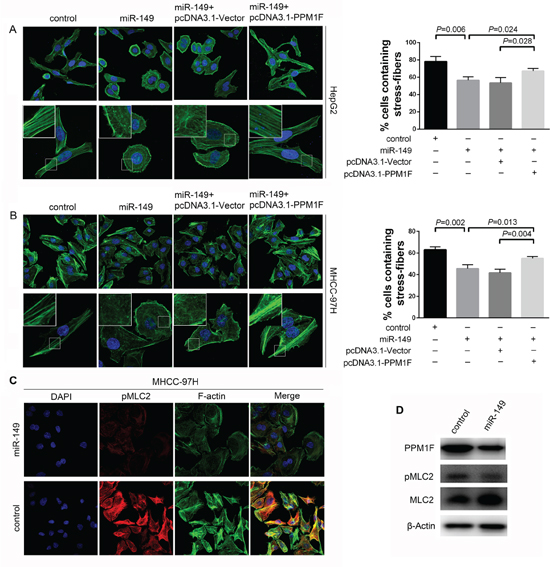 miR-149 regulated stress fiber formation, and PPM1F rescued the loss of stress fibers in HCC cells.