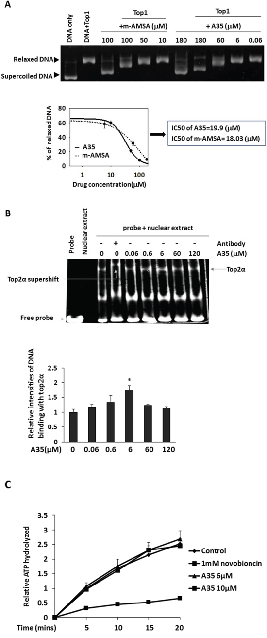A35 can intercalate DNA but does not interfere with top2α-DNA binding and top2α ATPase activity.