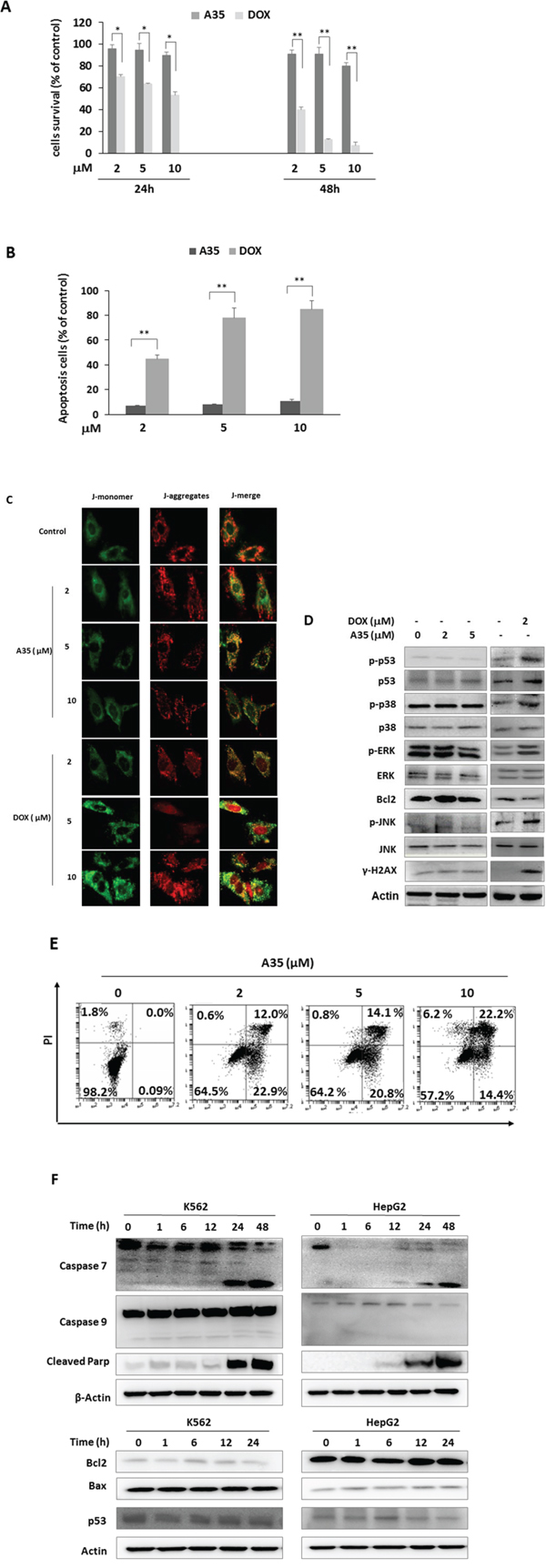 A35 does not induce cardiac cell cytotoxicity and mitochondrial damage and induces cancer cell apoptosis but not through the mitochondrial pathway.