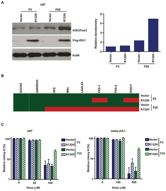 A. Prolonged passage after IDH1-R132H expression increased chromatin deposition of H3K27me3 in human U87MG glioblastoma and murine Ink4a/Arf−/− astrocytic cells.