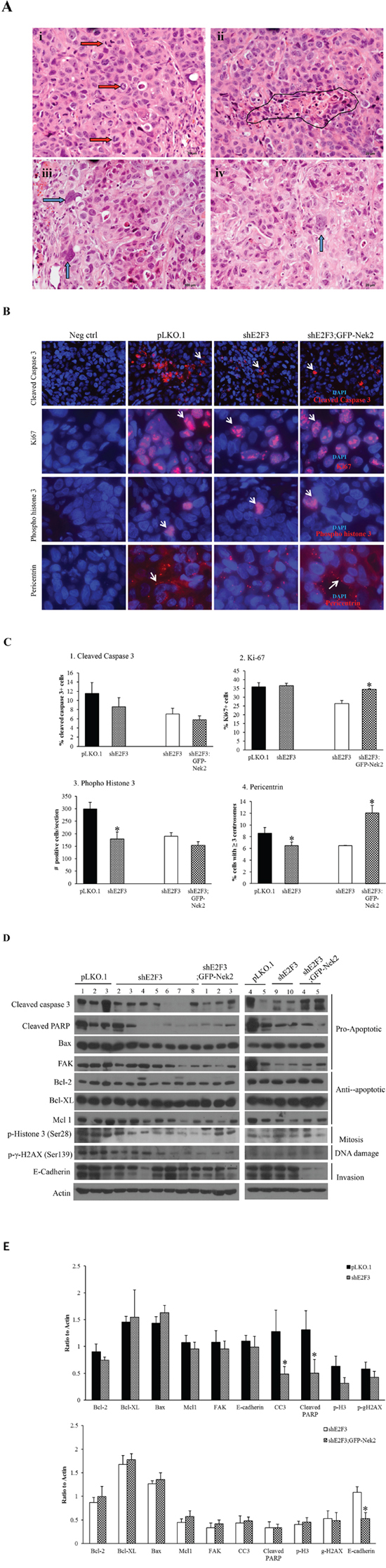 E2F3 knockdown restricts percentage of Her2+ breast tumor cells undergoing mitosis.
