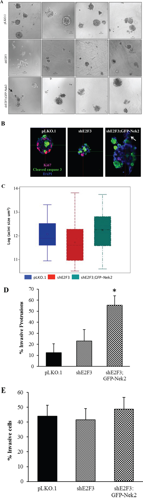 Nek2 overexpression in shE2F3 cells enhances formation of invasive protrusions.